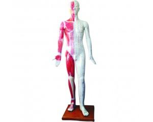 人体针灸模型及动物针灸模型