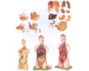 男性、女性外两性互换人体头颈躯干模型