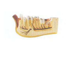 儿童牙列放大模型
