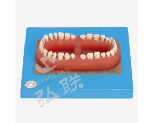 口腔专科医学训练模型