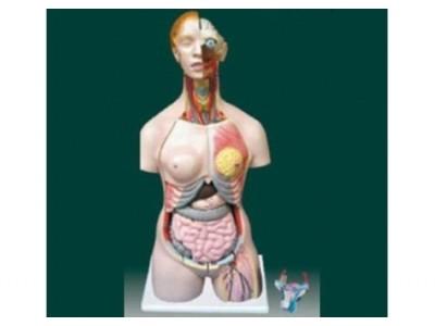 两性人体半身躯干模型