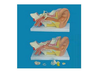 大型左耳放大解剖