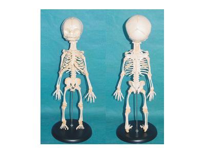 婴儿骨骼模型