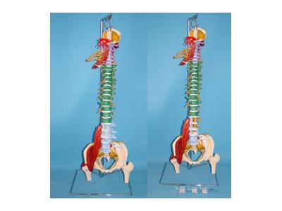 自然大多功能软脊椎综合演示