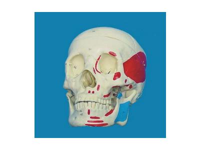 自然大头骨(带肌肉起止)