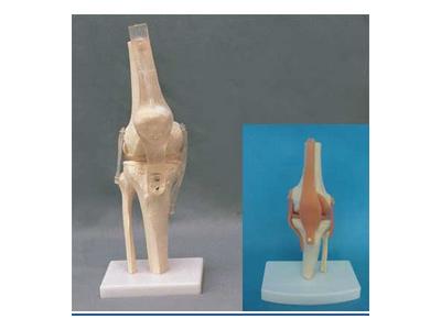 自然大膝关节(透明韧带)