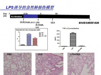 LPS诱导的肺损伤模型