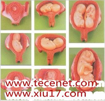 胎儿妊娠发育过程模型