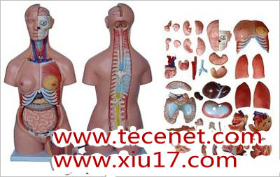 人体躯干解剖模型