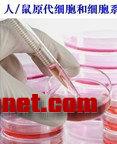 人、鼠原代细胞和细胞系