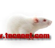 【SHR自发性高血压大鼠销售价格优惠保质】