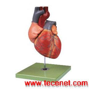 成人心脏解剖放大模型  心脏解剖模型