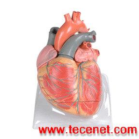 心脏解剖放大模型 心脏解剖模型