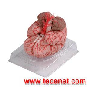 长沙艾创医疗专业提供 脑动脉模型