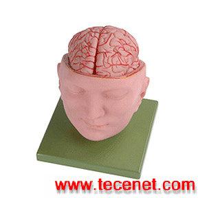 长沙艾创医疗 头部附脑和动脉模型