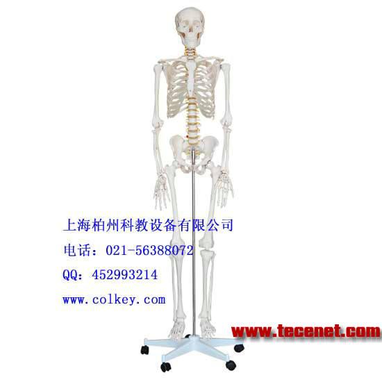 人体骨骼模型,全身骨架模型,人体骷髅模型