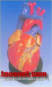 心脏解剖放大模型|心脏模型|心脏解剖模型