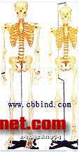 骨骼模型|骨骼解剖模型|人体全身骨骼模型