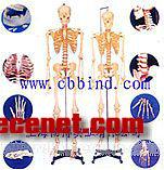 """人体骨骼模型 168CM真人大小的、关节相连的塑料模型是基础解剖教学的理想模型,物美价廉。手臂和腿部可拆下供研究。本模型的手脚和三颗牙可装拆。安放在牢固的16英寸金属架上。用PVC制成,可水洗,不破"""""""