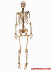 人体全身骨架标本