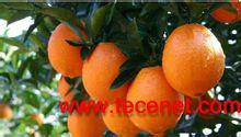 柚皮甙98%