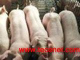 乳仔猪专用复合酶 SFP-0511
