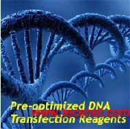 SignaGen预优化转染试剂-HepG2