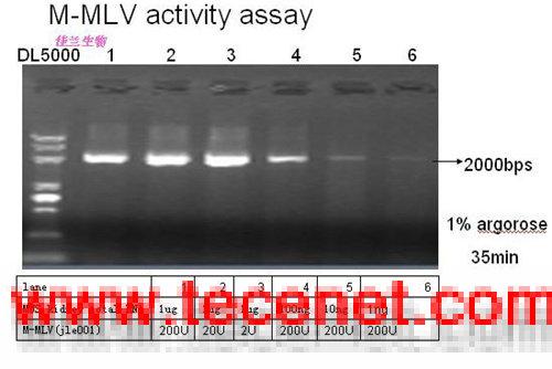 M-MLV逆转录酶 MMLV反转录酶(RNaseH-)